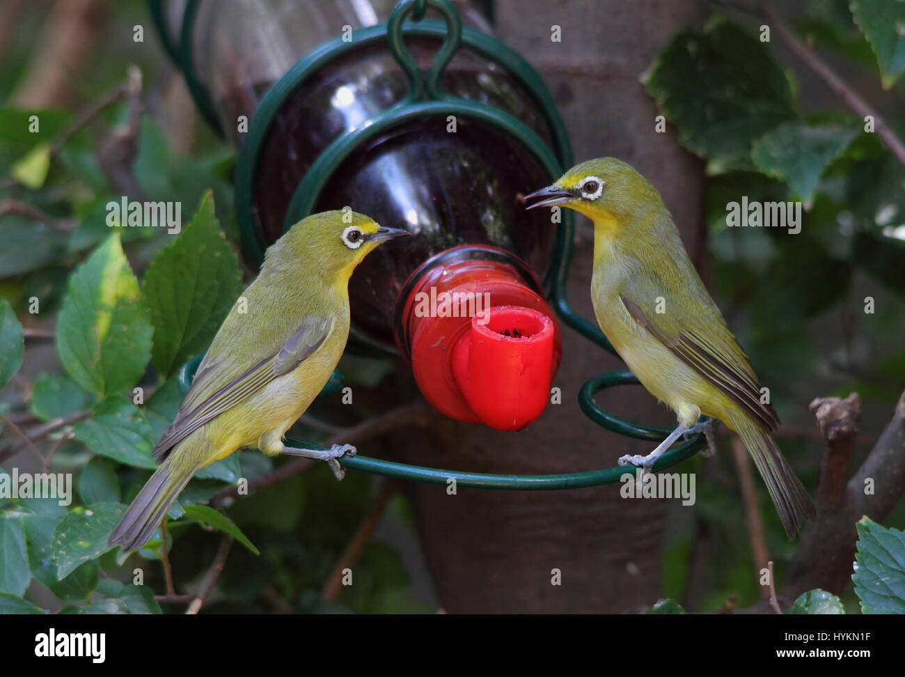 Wildlife in urban spaces - two green birds at a feeder - Stock Image