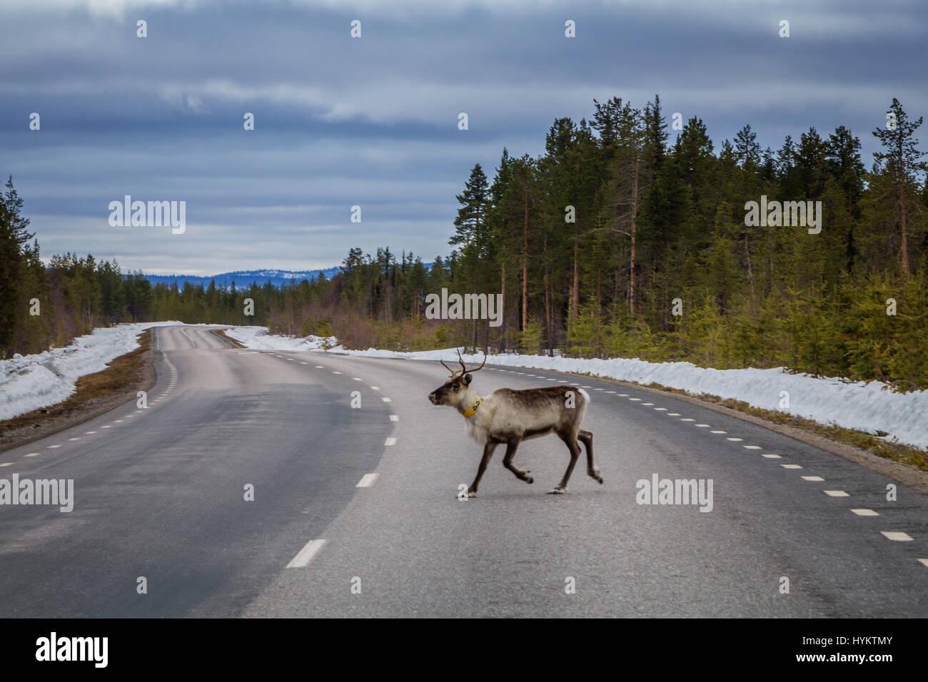 Reindeer crossing the road, Laponian Area, National Park, Stora Sjofallet, Sweden - Stock Image