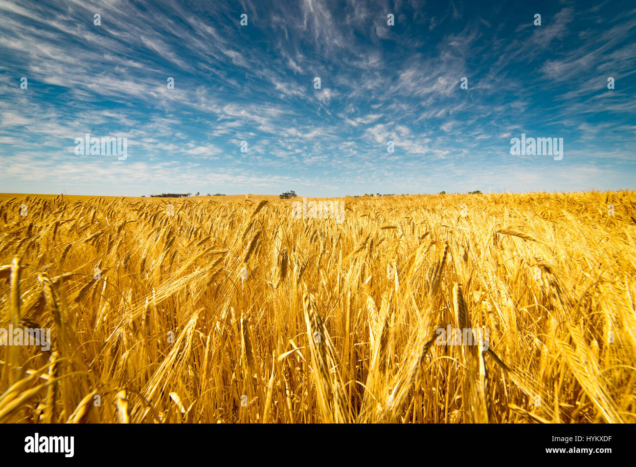 Field of Golden wheat under the blue sky and clouds - Stock Image
