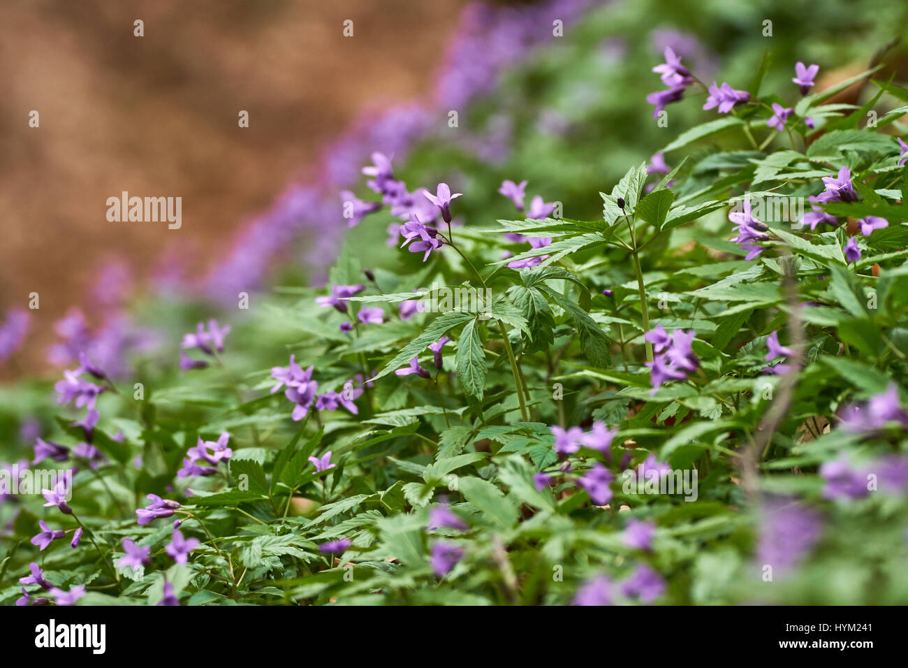 Small Purple Flowers In A Field During Spring Time Stock Photo