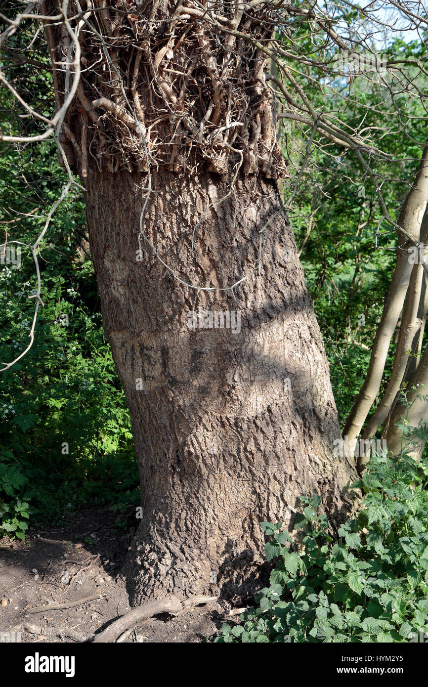 A tree from which vines been cut off and removed in Richmond, UK. - Stock Image