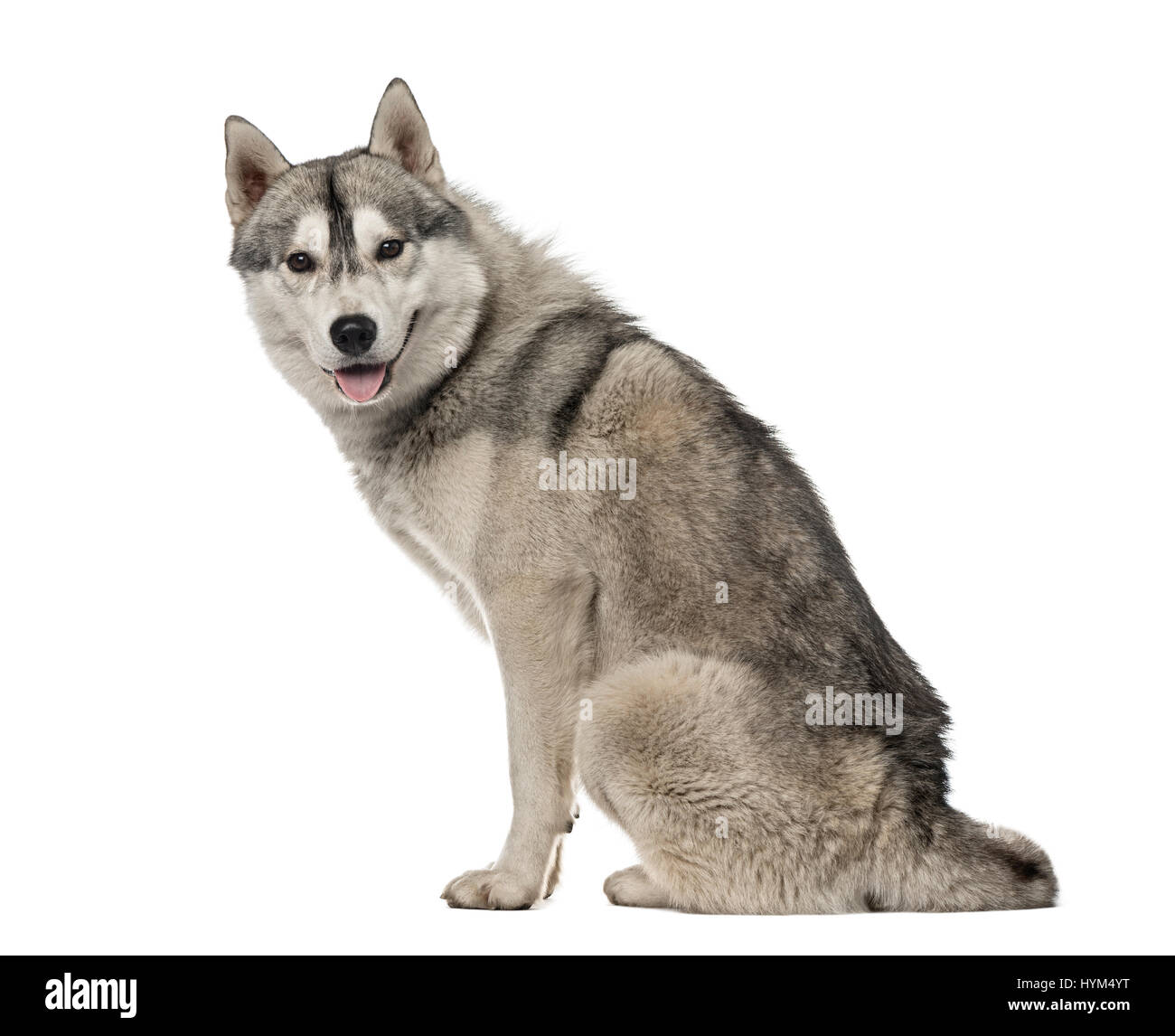Side View Of A Siberian Husky Sitting 15 Year Old Isolated On White