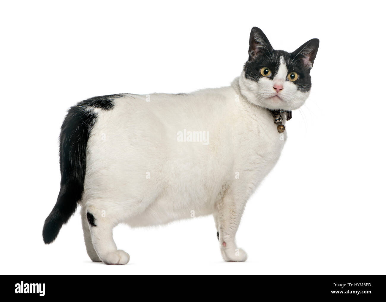 Fat Cat Cut Out Stock Images & Pictures