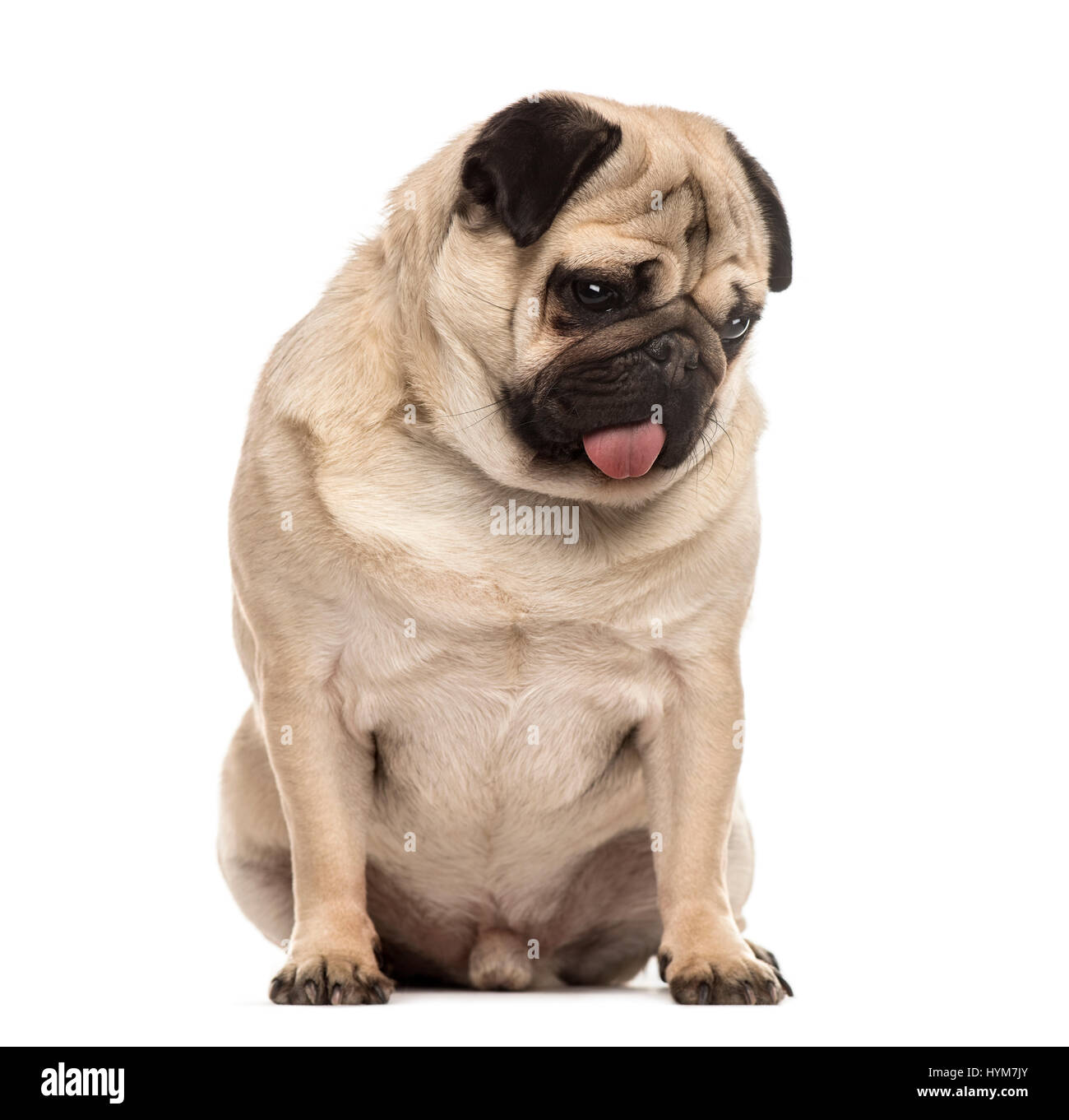 Pug sitting sticking the tongue, isolated on white - Stock Image
