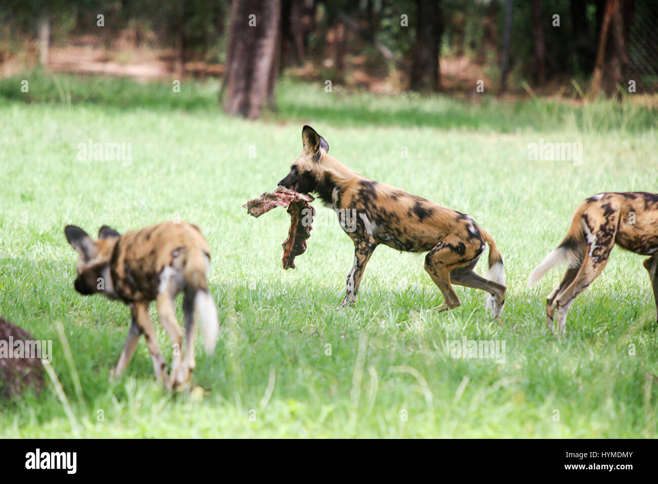 African wild dogs from Taronga Western Plains Zoo in Dubbo. Stock Photo