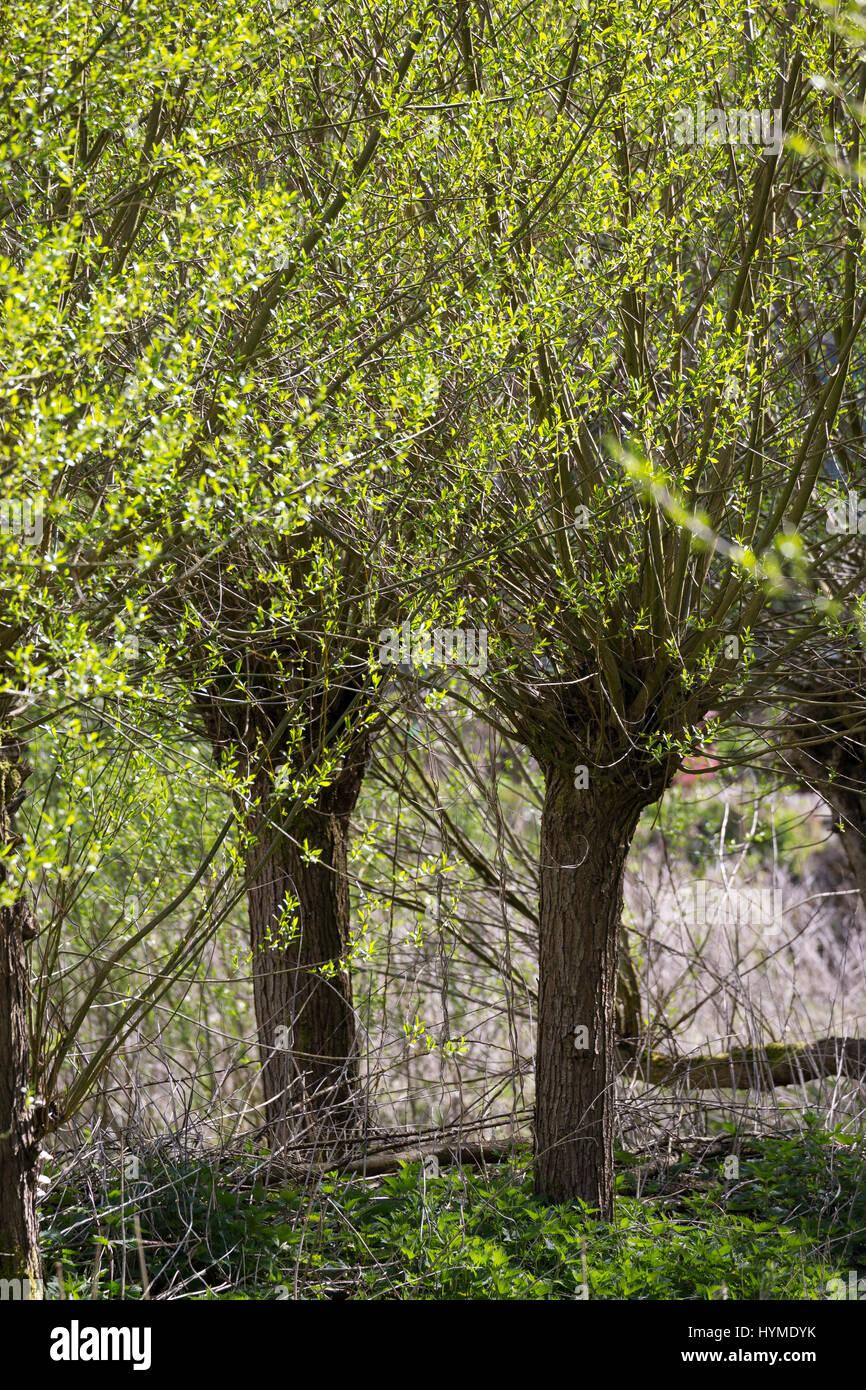 Kopfweiden, Kopfweide, Kopf-Weiden, Kopfbaum, Kopfbäume, Weide, Weiden, Salix spec., Sallow, Willow, Pollard - Stock Image