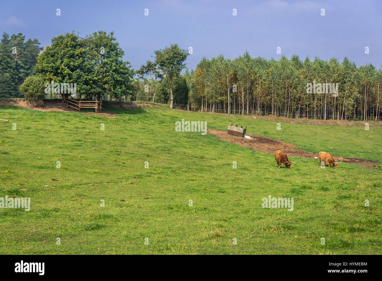Scottish highland cattle on a pastureland in Dziemiany commune, Kashubia region of Pomeranian Voivodeship in Poland - Stock Image