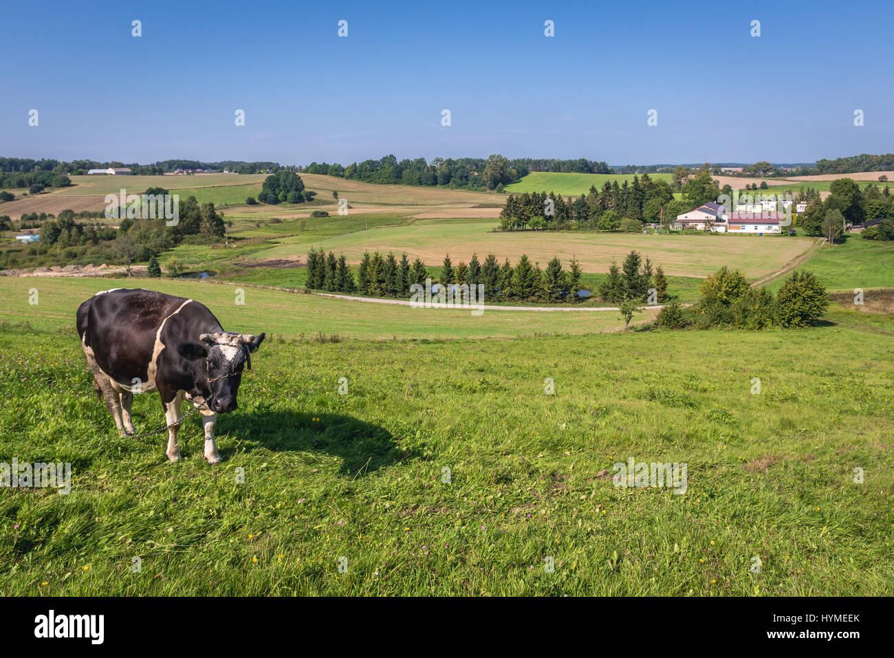 Cow on a pasturage in Kartuzy County, Kashubia region of Pomeranian Voivodeship in Poland - Stock Image