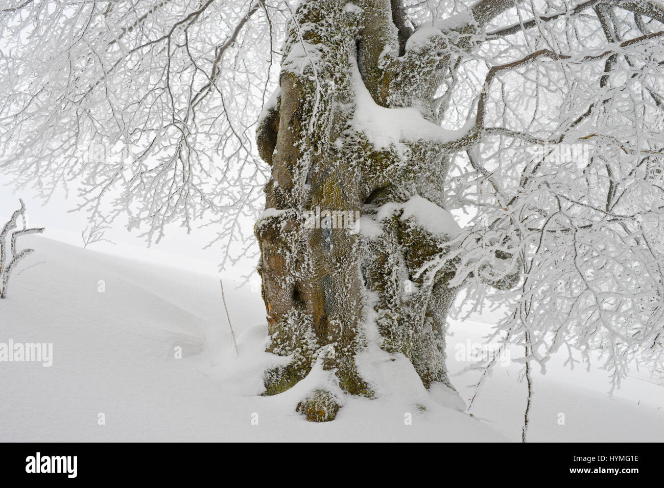 verry old centenarian tree survivor on the boarder wild forest in winter storm to guard the time at 1500 m - Stock Image