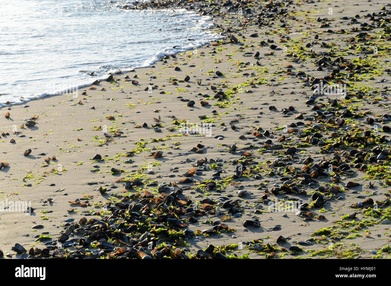 Sand beach covered with washed up seashells and seaweeds - Stock Image
