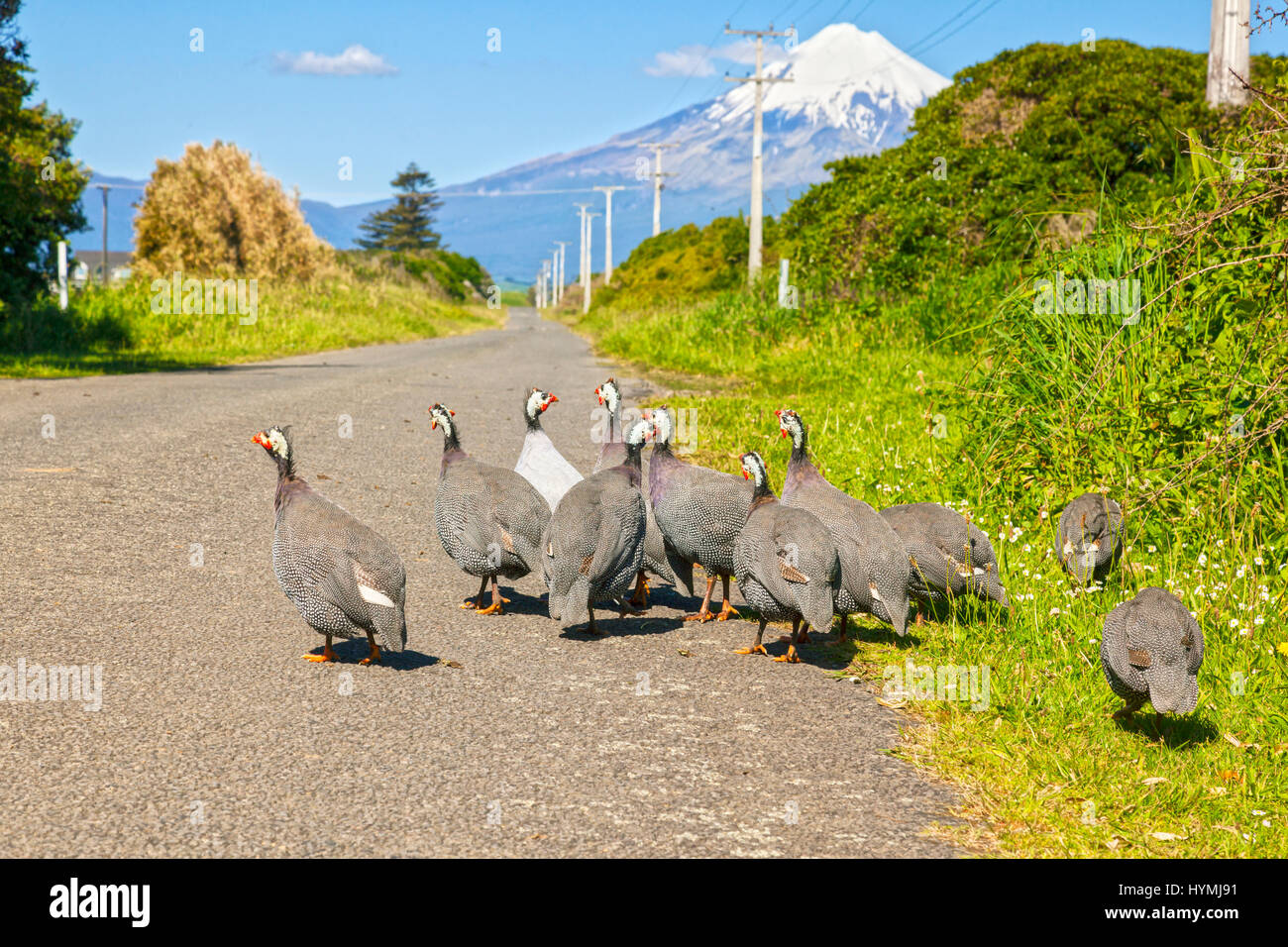 A flock of feral Guinea Fowl at Cape Egmont, with Mount Taranaki in the background. Focus on birds. - Stock Image