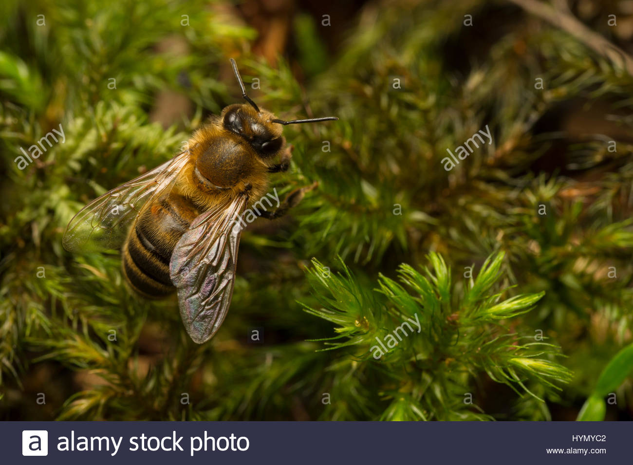 Extreme close up of a drone bee on a patch of moss. - Stock Image