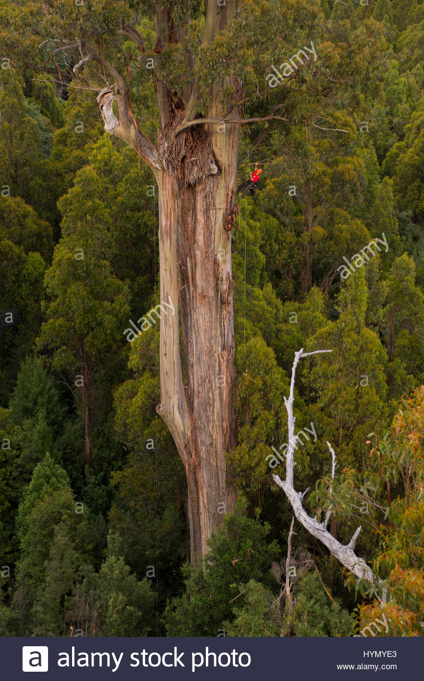 Scientist Russell Kramer descending a rope in a 82 meter Mountain Ash, Eucalyptus regnans. - Stock Image