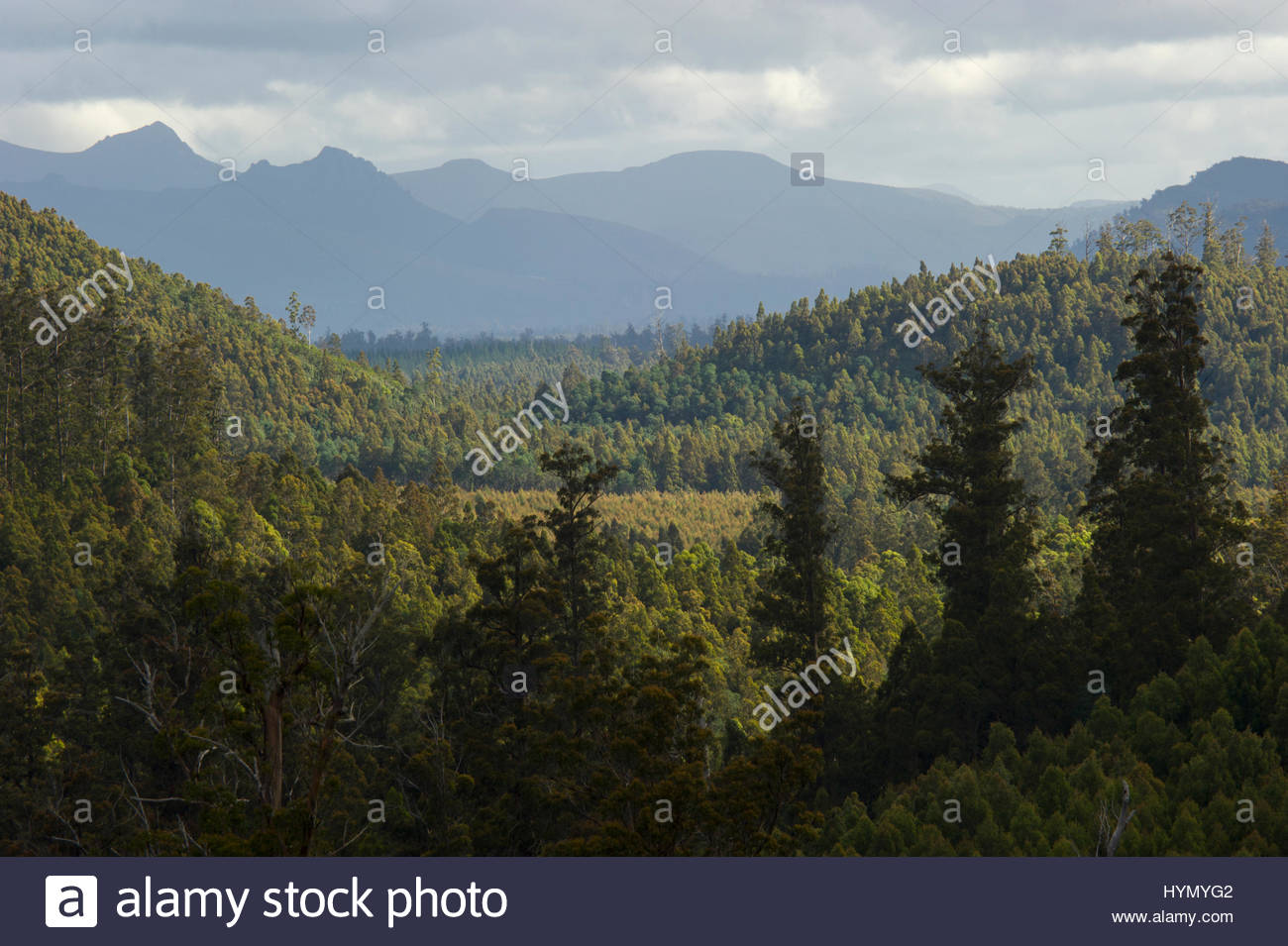 A view from the top of a 84 meter Mountain Ash tree, Eucalyptus regnans, looking at the Upper Florentine River Valley - Stock Image