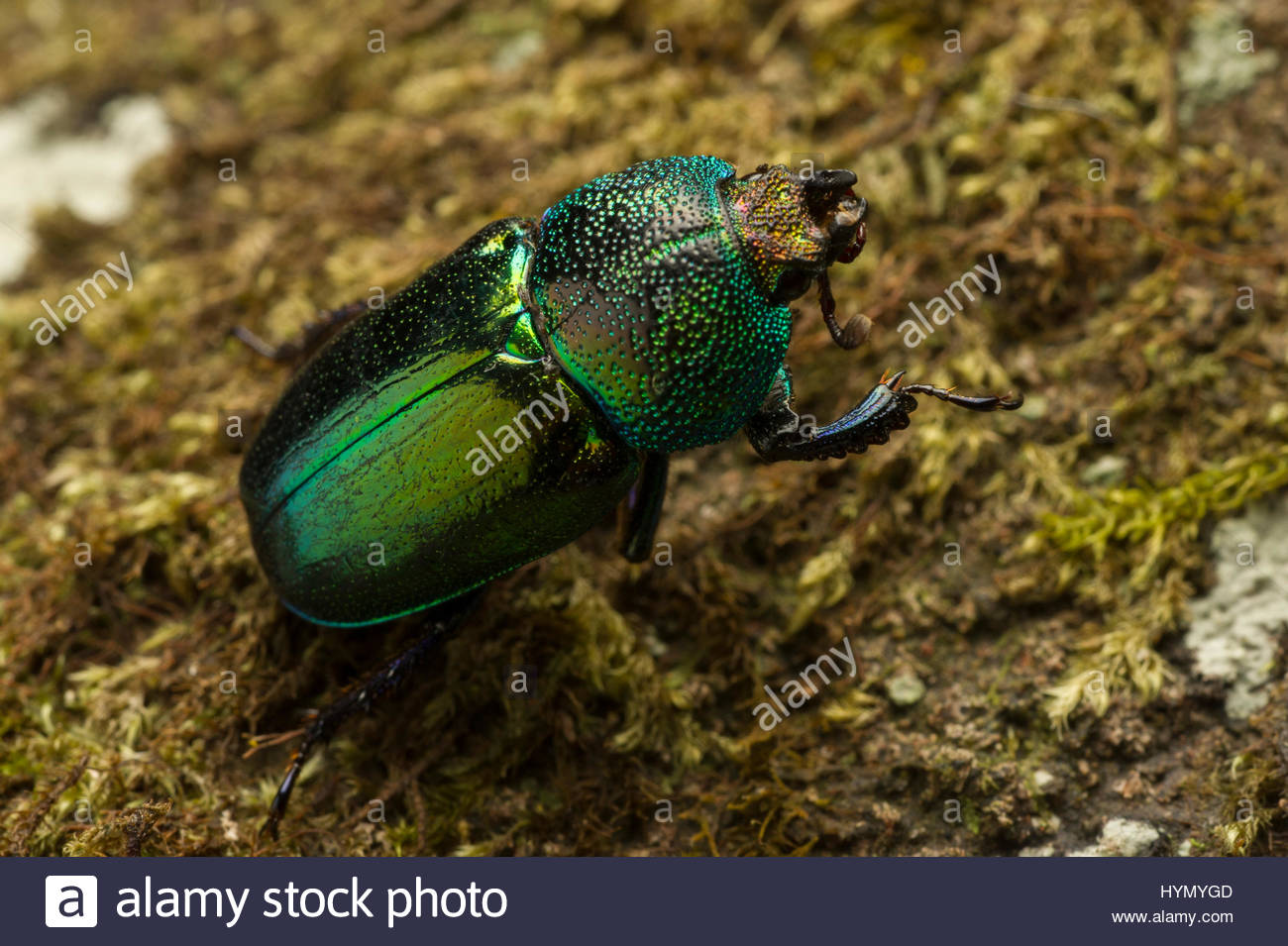 An extreme close up view of an iridescent green Christmas beetle, Anoplognathus, moving on the moss-covered forest - Stock Image