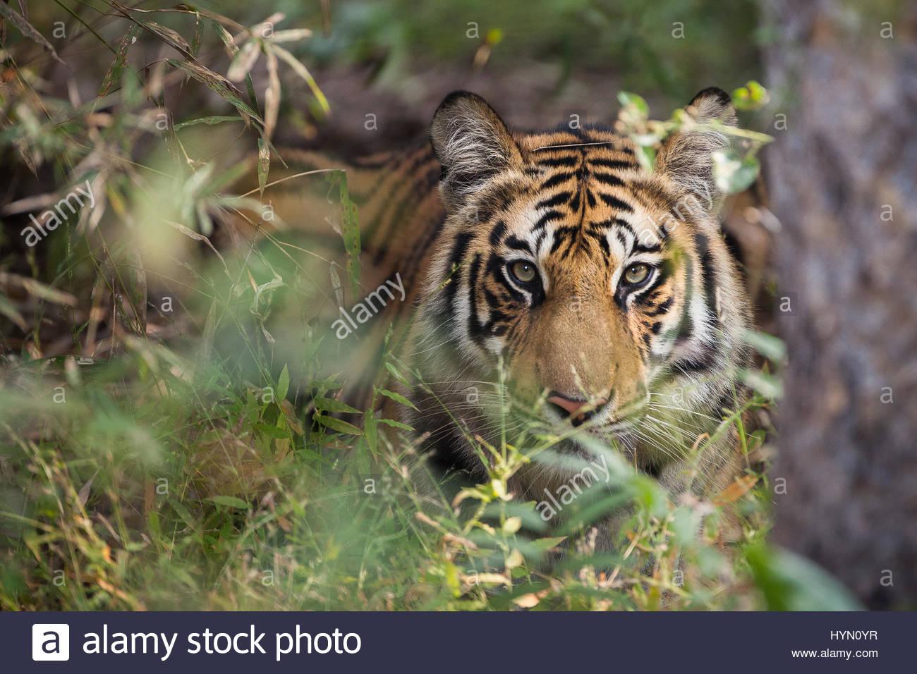 A year-old Bengal tiger, Panthera tigris tigris, hiding in the brush of Bandhavgarh National Park. - Stock Image