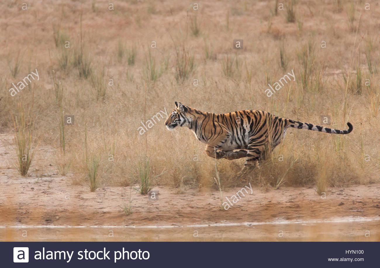 A year-old Bengal tiger, Panthera tigris tigris, running along the water's edge. - Stock Image
