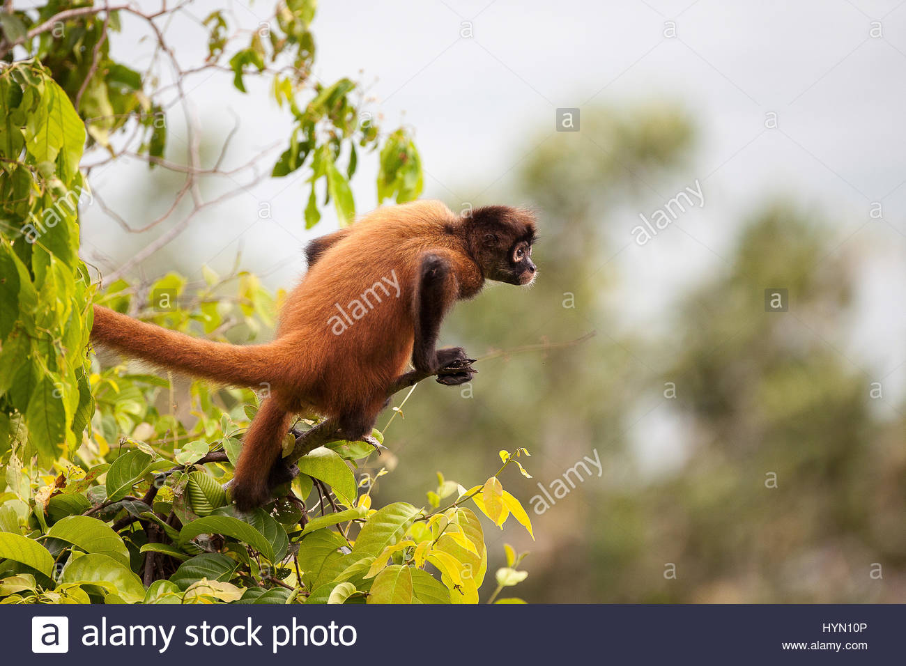 A spider monkey, Ateles geoffroyi, perched in a tree. - Stock Image