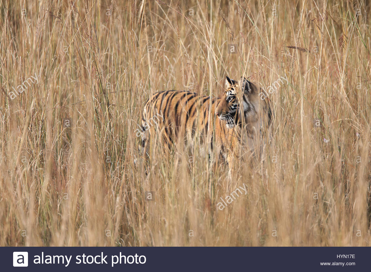 A year-old Bengal tiger, Panthera tigris tigris, standing in tall grass in Bandhavgarh National Park. - Stock Image