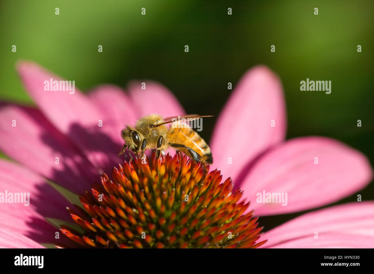 Coneflower Magnus (Echinacea purpurea) with a honey bee (Apis mellifera) taken in my backyard in Issaquah, WA.  - Stock Image