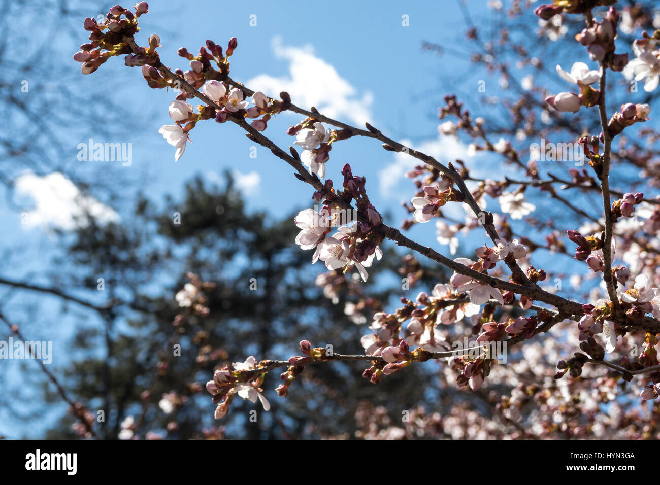 Yoshino Cherry Blossoms in Central Park, NYC - Stock Image