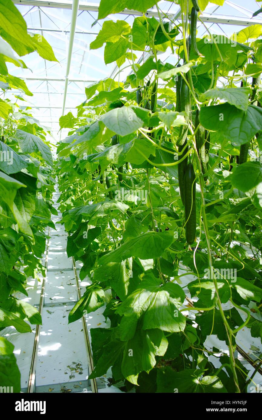 Tasty organic green cucumbers plants growth in big Dutch greenhouse, everyday harvestStock Photo