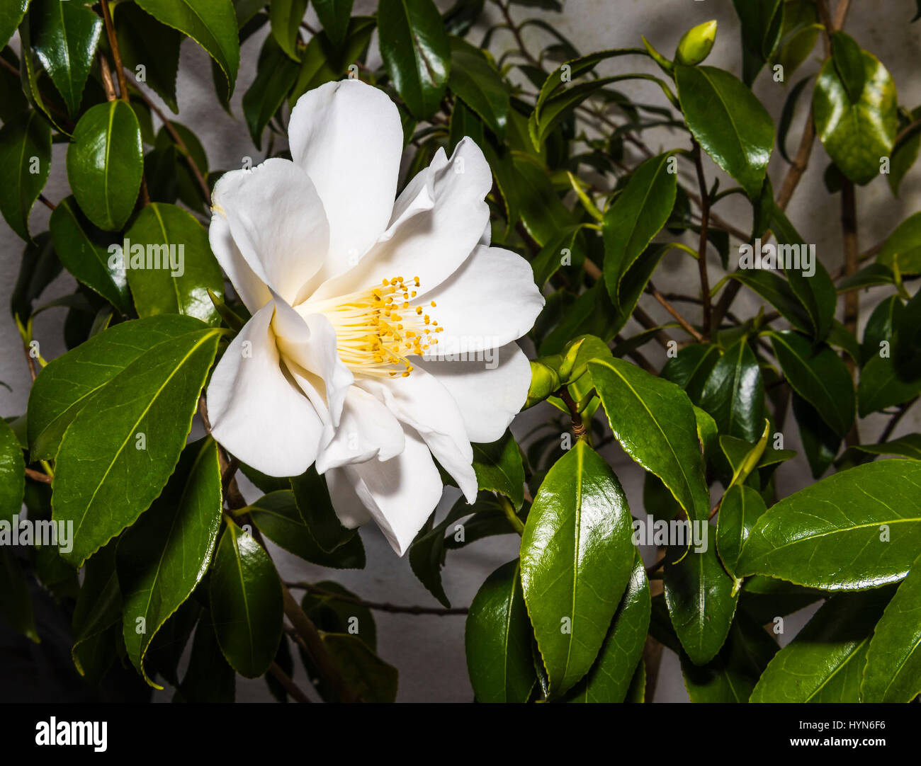Glorious white Camellia caught in a north London garden, UK - Stock Image