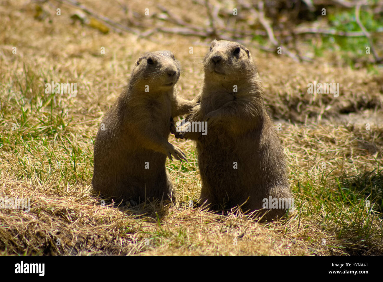 Two prairie dogs stock photos two prairie dogs stock images alamy two prairie dogs holding each other stock image m4hsunfo