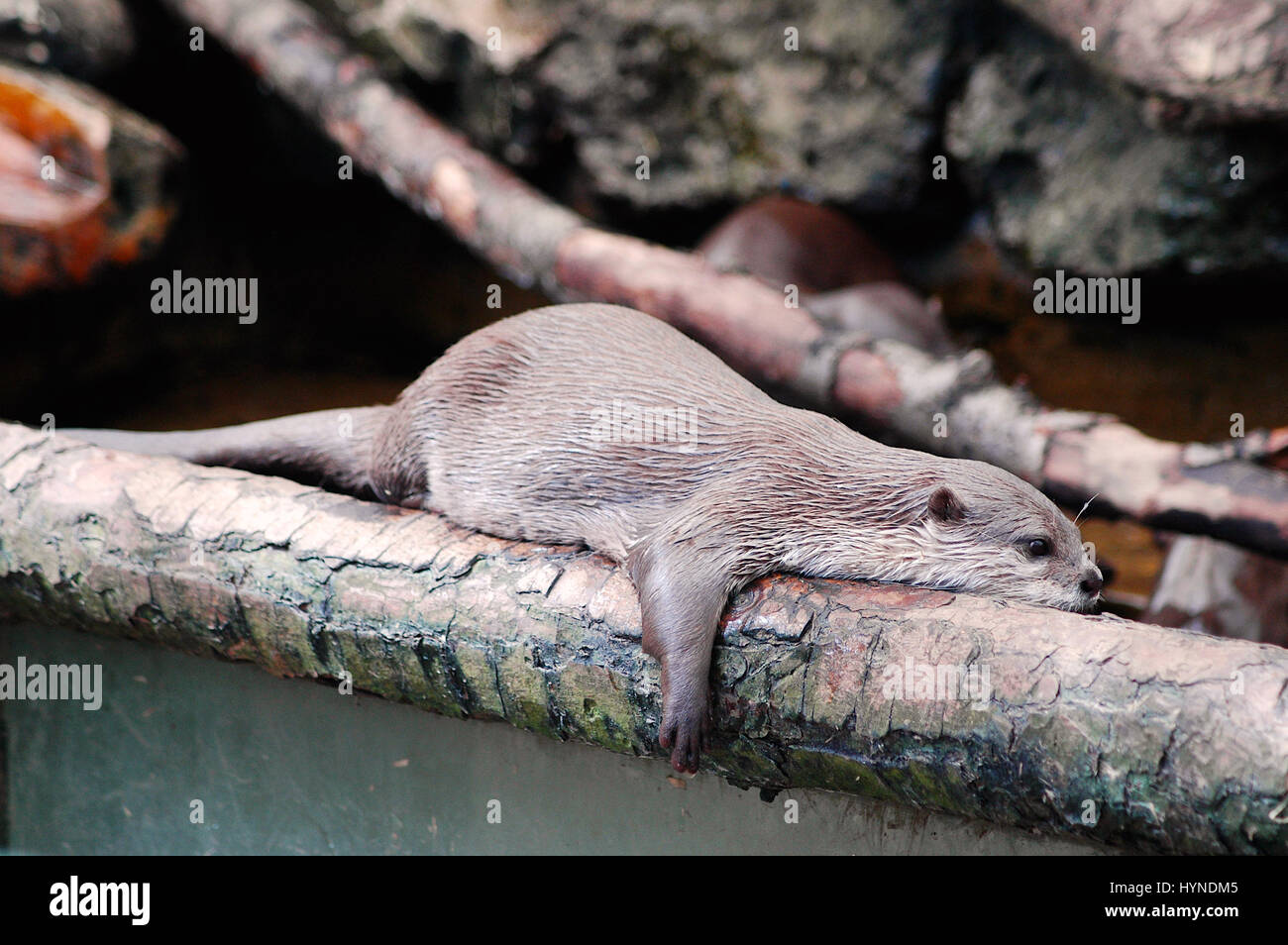 Otters at The New Forest Wildlife Park, Hampshire, England Stock Photo