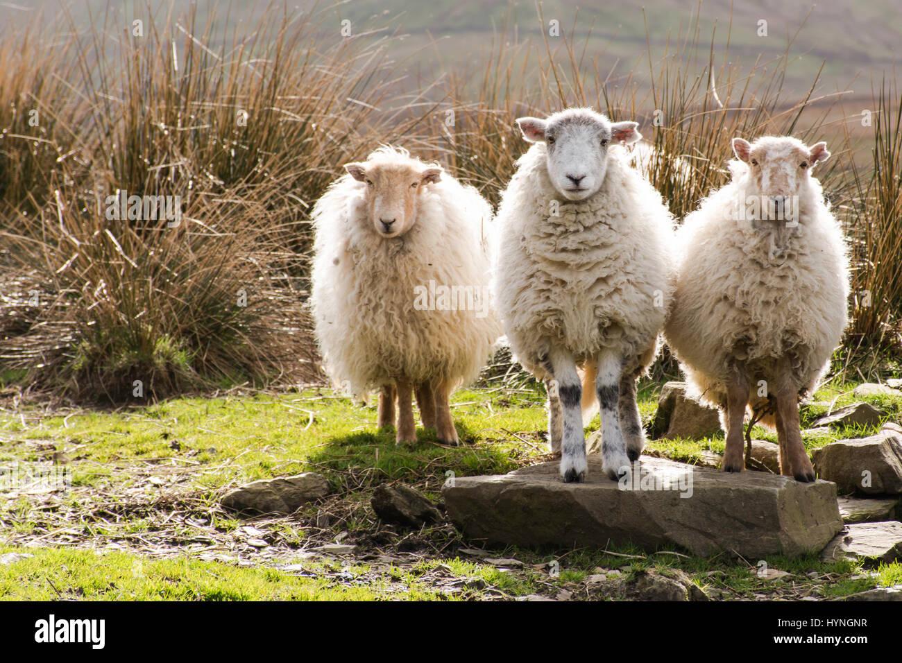three sheep - Stock Image