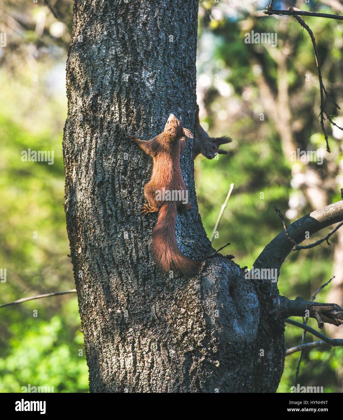 Squirrels climbing tree trunk in Gellert hill park in Budapest Stock Photo