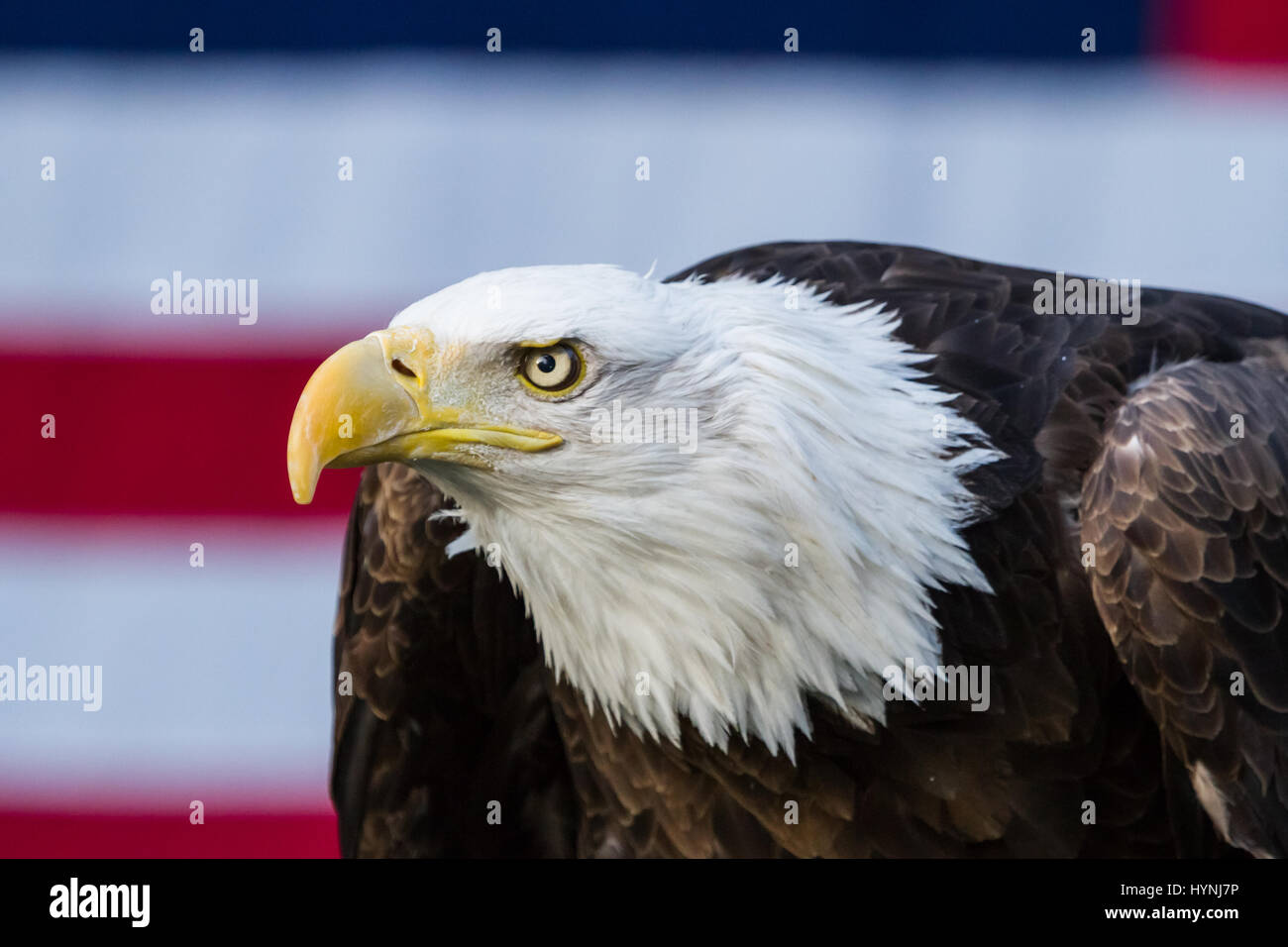 The Symbol Of America A Bald Eagle Sits In Front Of The Countrys