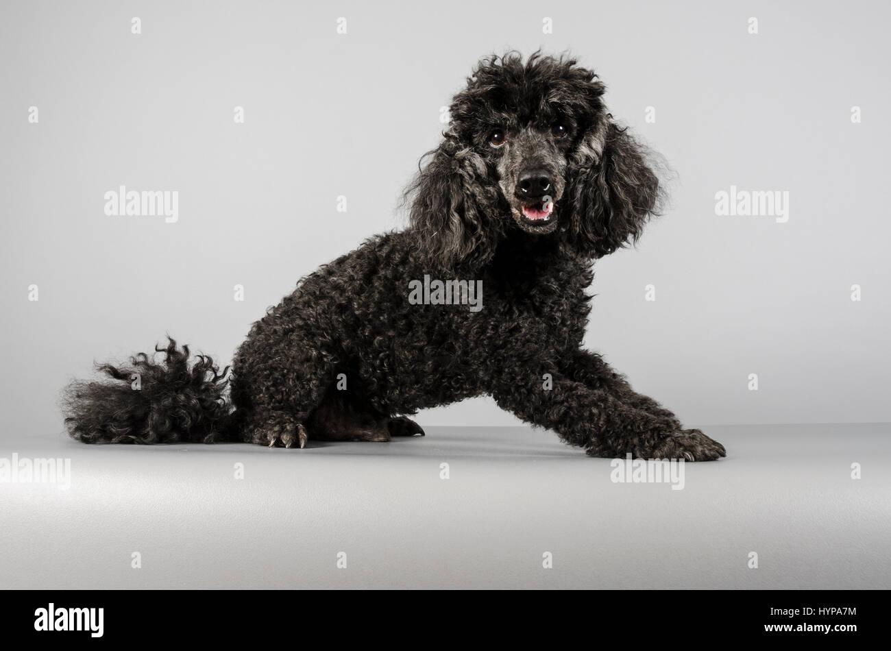 miniature poodle - Stock Image