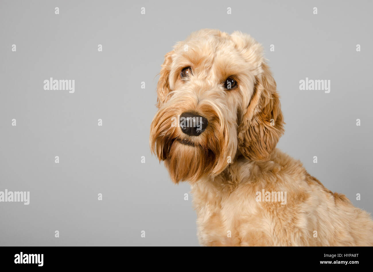 Cockapoo Dog against a grey background - Stock Image