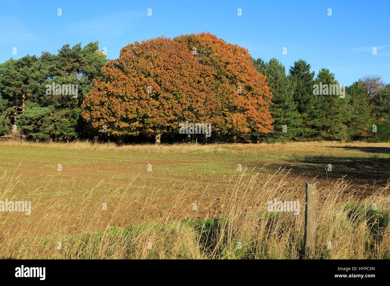 Autumn colours trees in countryside, Sutton, Suffolk, England, UK - Stock Image