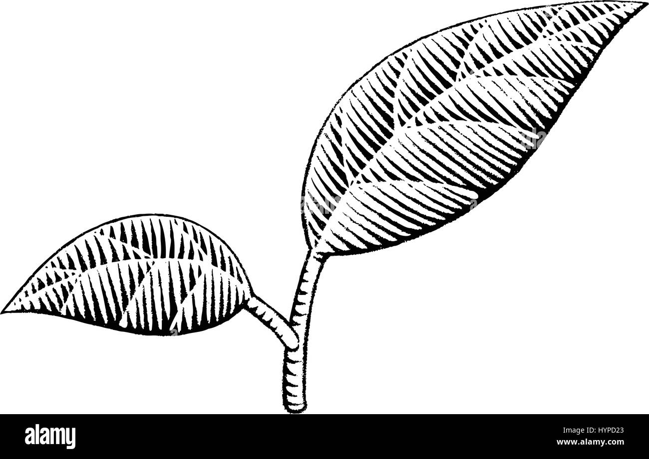 Vector Illustration of a Scratchboard Style Ink Drawing of Leaves - Stock Image