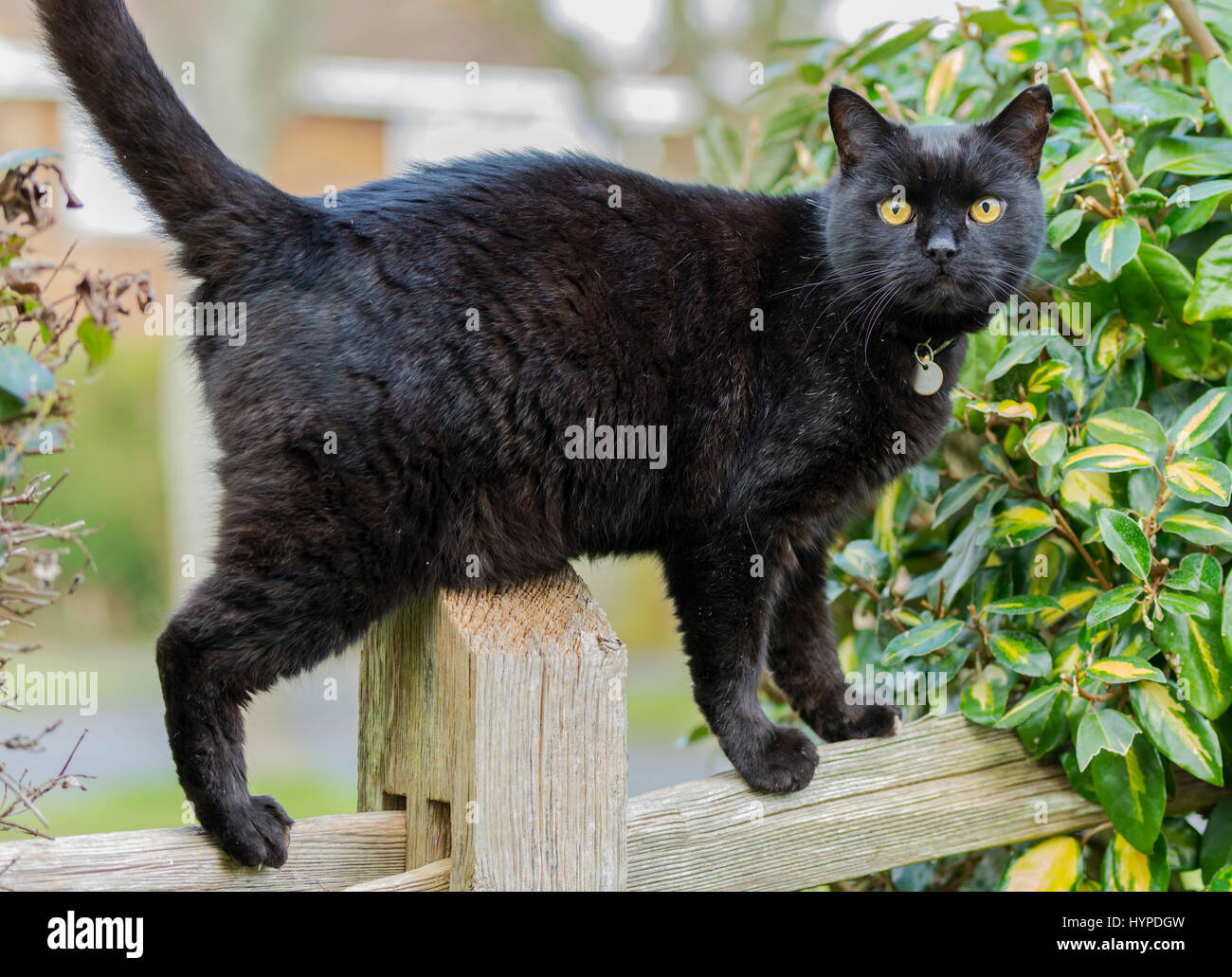 Black cat standing on a fence looking at the camera. - Stock Image