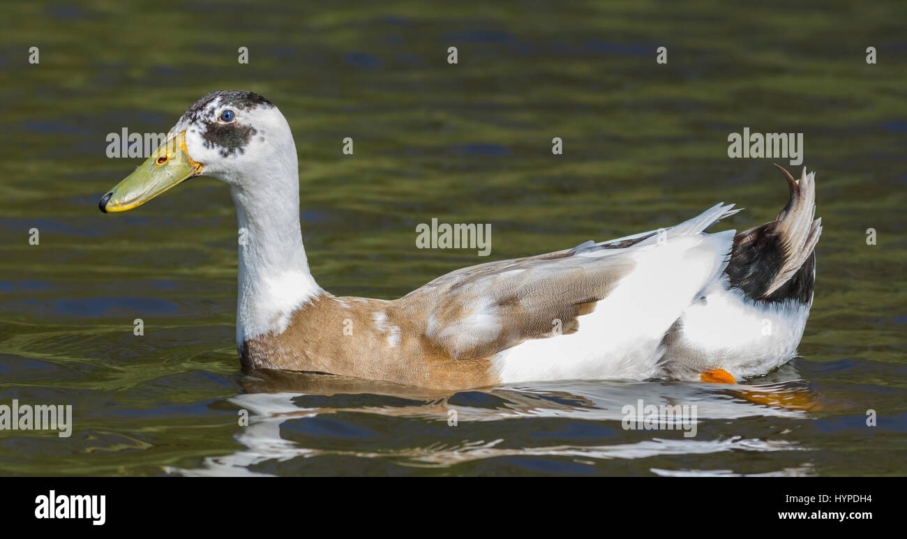 Drake Indian Runner duck (Anas platyrhynchos domesticus) swimming in water in Spring in West Sussex, England, UK. - Stock Image