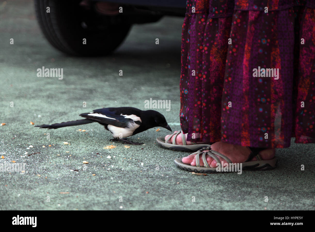 France,Animal behaviour, magpie coming closer to human feet - Stock Image