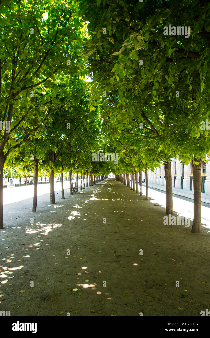 France.Paris 75001, alley of the garden of the Royal palace under the foliage of the lime-trees trimmed in marquise. - Stock Image