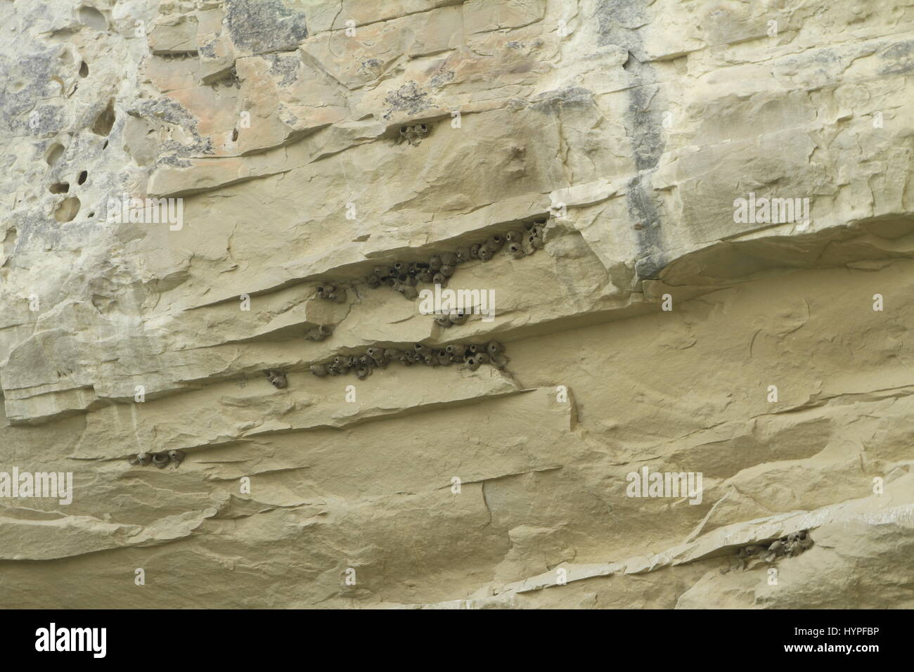 Cliff Swallow nests, Missouri River Breaks National Monument, Montana, USA - Stock Image