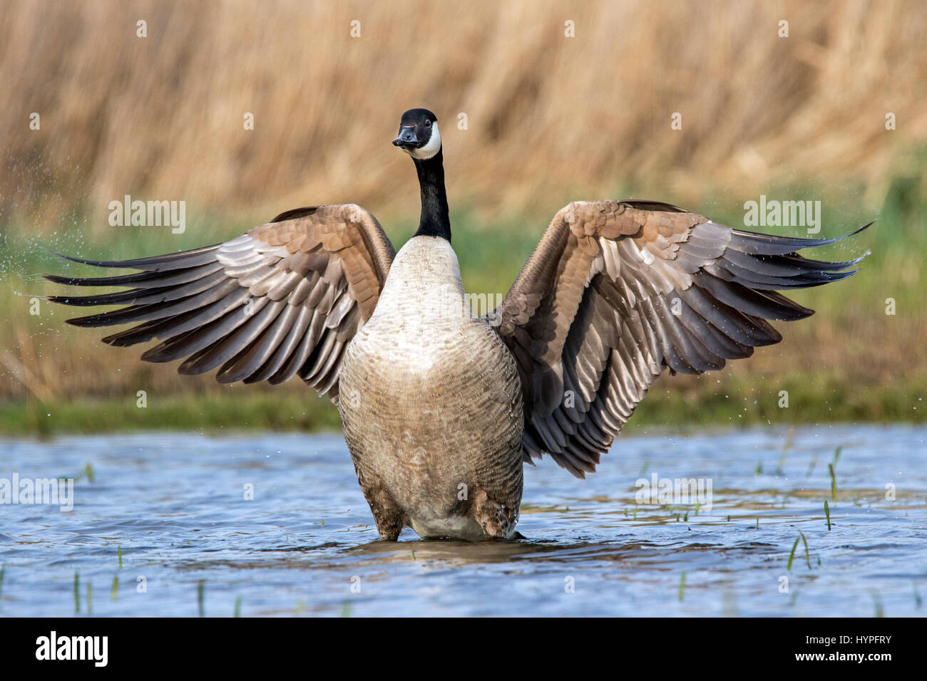 Canada goose (Branta canadensis) flapping wings in pond - Stock Image
