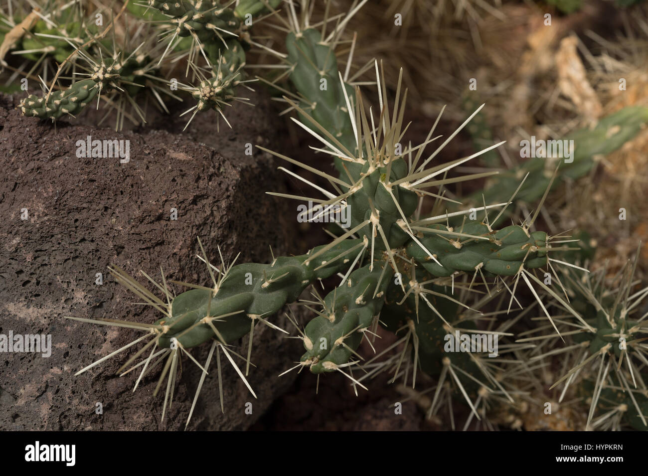 Silverspine Cane Cholla, Opuntia tunicata, Cactaceae, Mexico Stock Photo