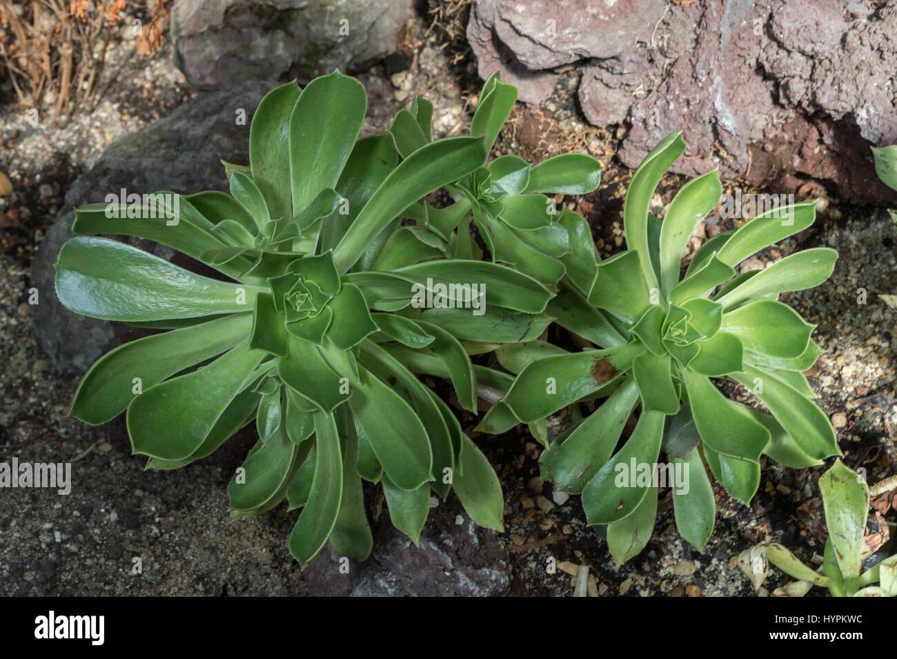 Saucer Plant, Aeonium urbicum, Crassulaceae, Lanzarote, Canarian Island, Spain, endemic - Stock Image
