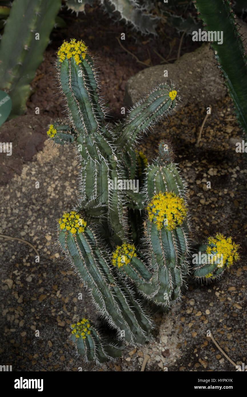 Euphorbia fruticosa, Euphorbiaceae,  Haraz Mountains,  Yemen, endemic - Stock Image