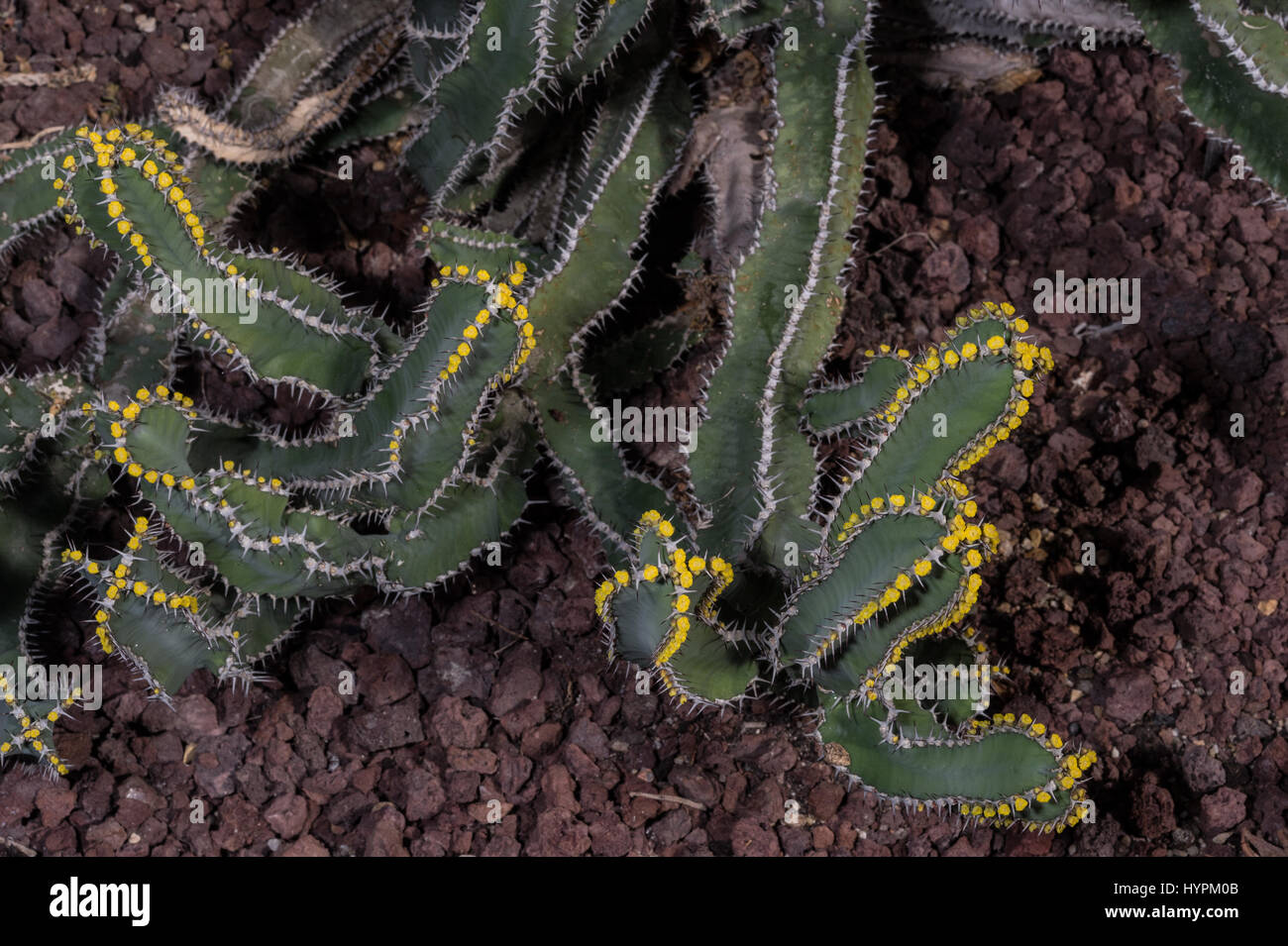 Euphorbia parciramulosa, Euphorbiaceae, endemic to Yemen, Asia - Stock Image
