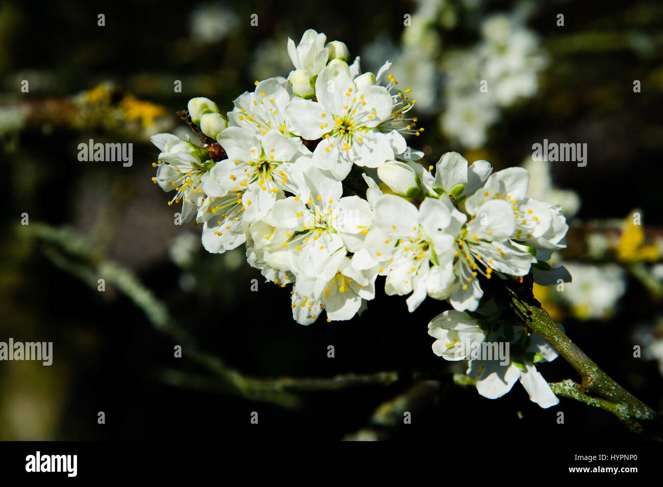Rosaceae Prunus Domestica 'Opal' blossom on a spring time in the garden - Stock Image