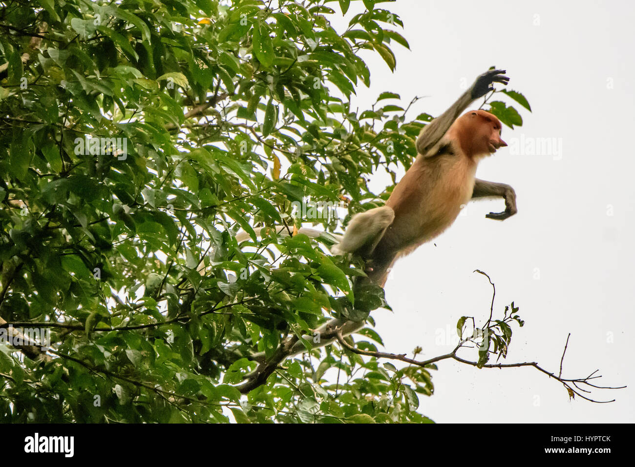 Proboscis Monkey leaping out of a tree - Stock Image