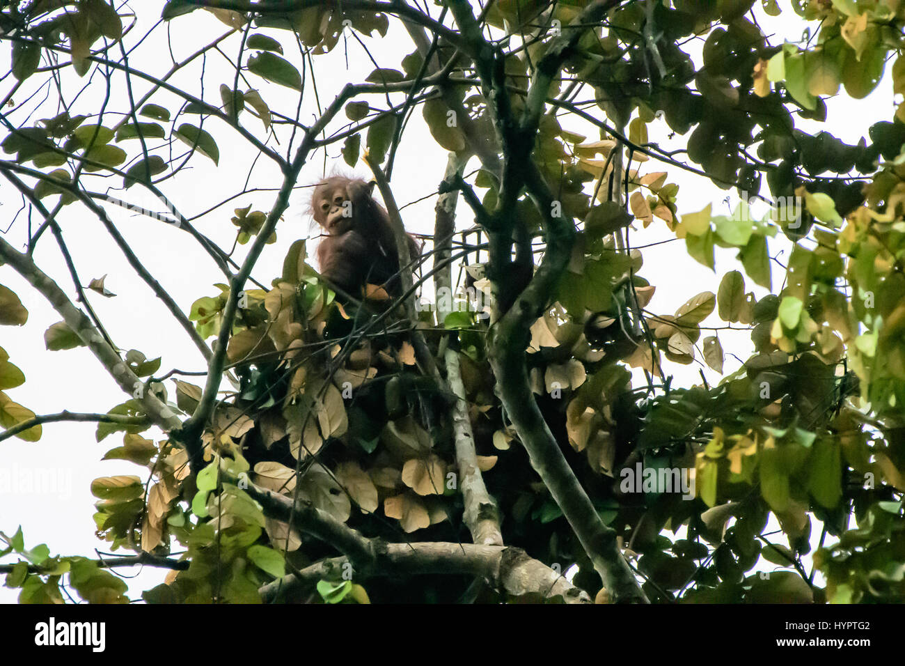 inquisitive baby orangutan peering out from its night nest - Stock Image