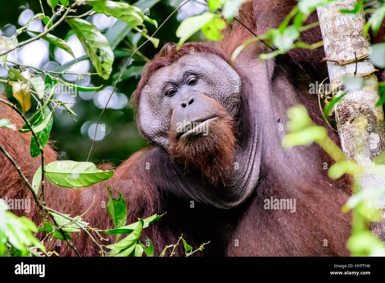 Inquisitive male flange orangutan - Stock Image